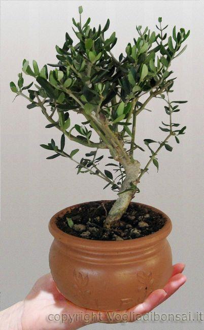 Bomboniere solidali bonsai organizzazione for Ulivo bonsai prezzo